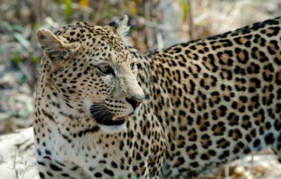 7-Year-Old Boy Rescued His Friend From Leopard Attack